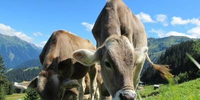 "How a ""FitBit For Cows"" Helps Farming IoT"